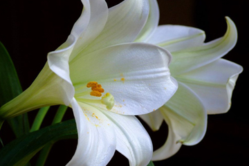 Lilies - a symbol of remembrance